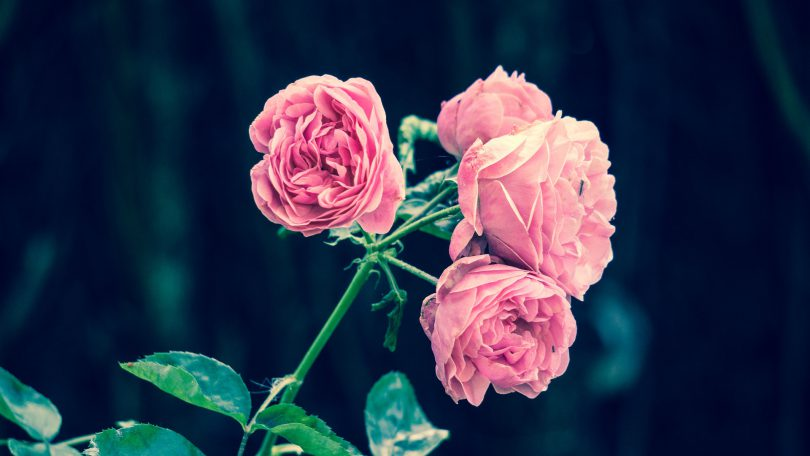 Pink roses against a dark green background